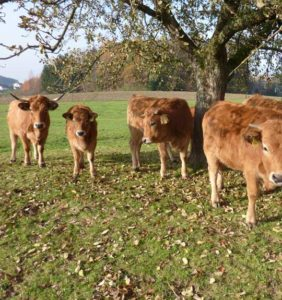 Herde Aubrac Rinder